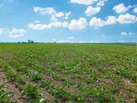 ポーランドのたんぽぽ畑