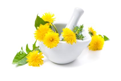 タンポポは古くから薬用として利用されてきた植物